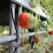 徳ちゃんのイチゴ畑にて。