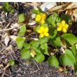 2018年4月二重の峠     黄すみれは変わりなく咲いてた