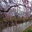 五条川の梅