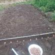 セット玉ねぎシャルムを定植しました