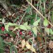 ツルリンドウの赤い実