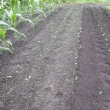 大根畑の除草
