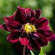 猛暑に凜と咲く ダリアの花