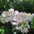 紫陽花「ポージィブーケ」
