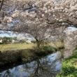 今井の桜・満開