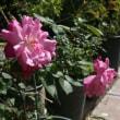 沖縄のバラ