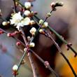 梅の花が咲いている! 青ざめた・慌てた・・・