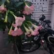 街道のそばでも咲きます