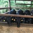 遠野の牛舎