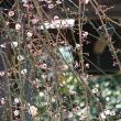 枝垂れ梅の咲くお寺。