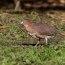 野鳥の世界(ミゾゴイ)