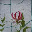 庭の百合が咲き始めました!