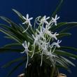 フウラン「山採り青軸青根」の花