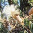 コウヤボウキ(高野帚)の綿毛