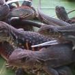 昆虫他を食べる、動くものは何でも食べる、タイ人たち、
