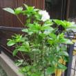 オオヤエクチナシの花