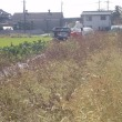 今年のエゴマ収穫の様子
