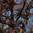 今冬初ほうとう鍋♪・・ドングリ(たぶんコナラ)の紅葉