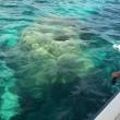 オキナワハマサンゴ