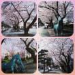 桜が満開。。 十和田市役所通り
