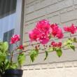 ブーゲンビリアが咲きました。