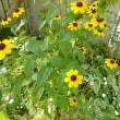 猛暑に咲く花
