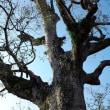 もう一つの巨木
