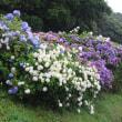 波立薬師の紫陽花
