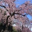 sakura桜さくら