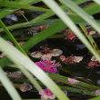 池の浮かぶ梅の花