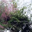 山庭のスターは筑紫虎の尾 わが家はロゼア
