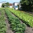 イモの土寄せ  殺虫剤  雑草対策  ゴボウ