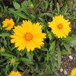 金鶏菊(きんけいきく)という花