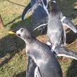 気ままなジェンツーペンギン2
