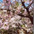 「隣町の桜」