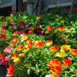夏花壇にオススメ ポーチュラカ