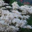 白花ヒガンバナ:その後