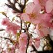大城の河津桜