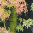 『初紅葉』 雨の音