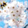 2018年錦糸公園の桜