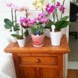 胡蝶蘭ほど花保ちがいい植物は他にないと思う。