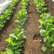小松菜が成長しています。