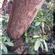 柿の皮の中の 虫退治