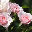 k.1      6月の薔薇