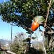 実りの秋 ムベの実 老爺柿の2つの実 サフラン 今季最初の椿花 激しい頭痛(歯痛から)
