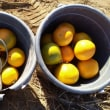 蜜柑の収穫