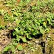 紫の毛むくじゃらな茎を横にひろげた  ヒロハフウリンホオズキ