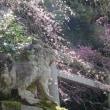 京の桜情報 2018 大豊神社の枝垂れ桜と枝垂れ梅の饗宴