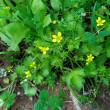 ラヌンクルス・ムリカツス Ranunculus muricatus