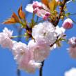 普賢象と八重桜と御衣黄